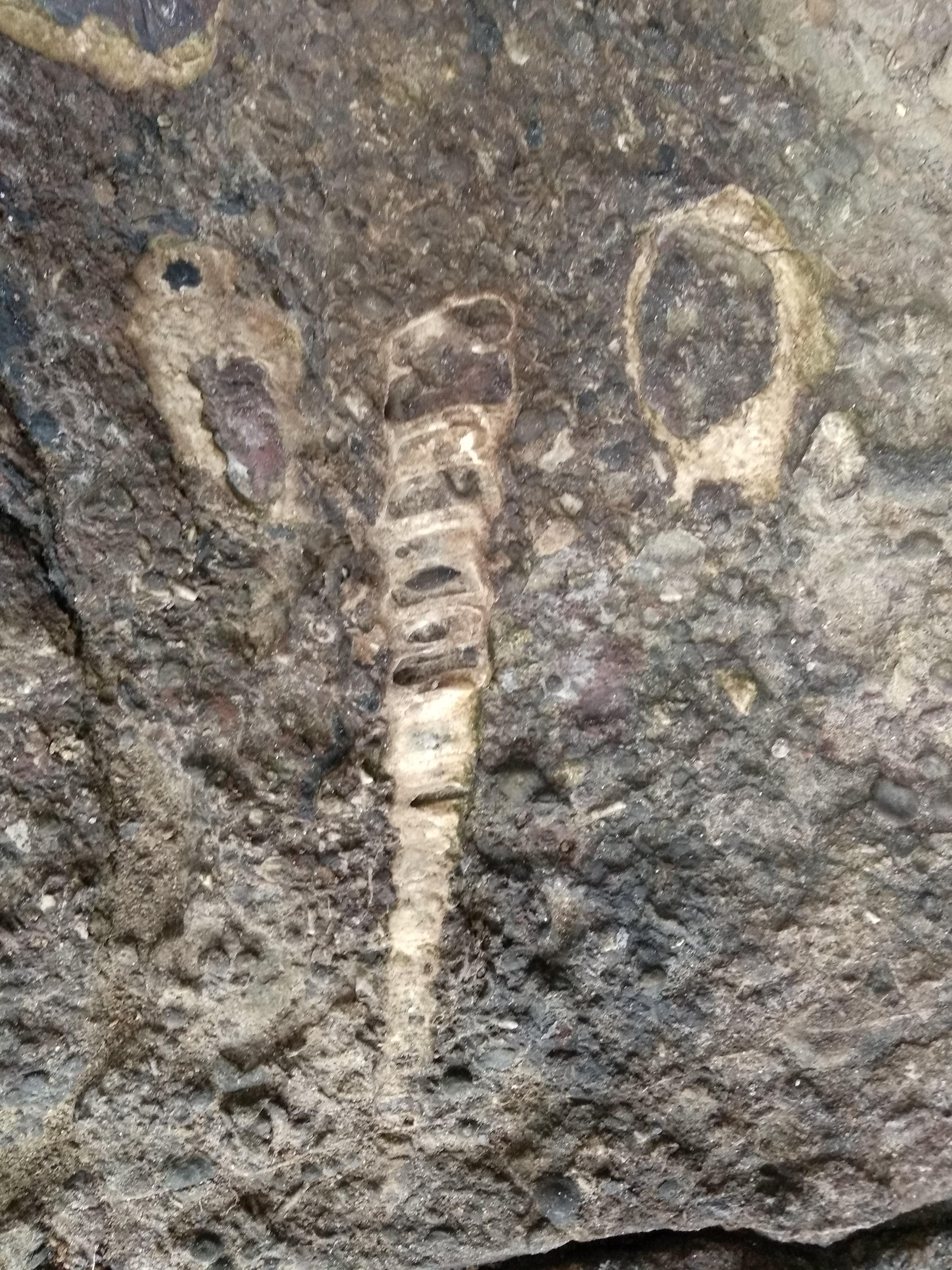 Fósiles, La Brena, cabo Quintres
