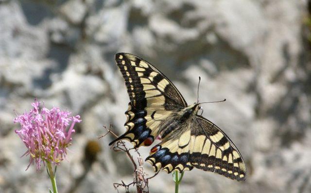 Familia Papilionidae: Cola de golondrina (Papilio machaon), sobre una mata de Milamores (Centranthus ruber), en el Fuerte de San Martín (Santoña).