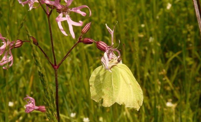 Familia Pieridae: Limonera (Gonepteryx rhamni), un macho sobre una Flor del Cuco (Lychnis flos-cuculi) en los prados de Carasa (Junta de Voto).