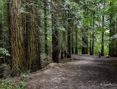 #Natureandoencorto Secuoyas del Monte Cabezón