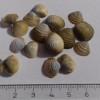 Una nueva especie invasora en el Embalse del Ebro
