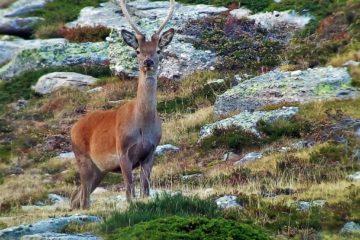 Tiempo de berrea: abierto el plazo de reserva para el celo del ciervo