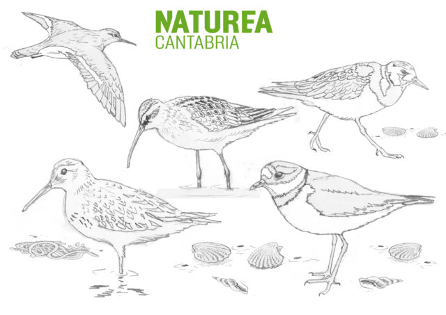 Dibujo aves limícolas