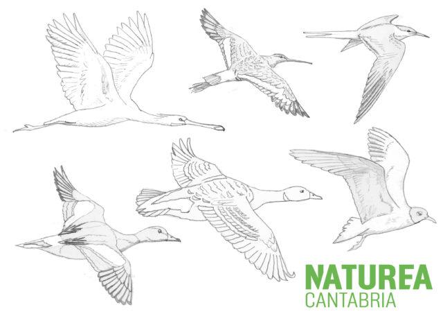 Aves migradoras del Parque Natural de las Marismas de Santoña, Victoria y Joyel