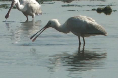 Aves del estuario del Asón