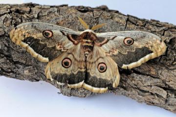 Mariposas nocturnas: los fantasmas de la noche