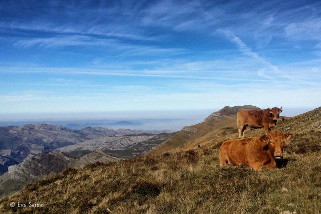 Ganado vacuno descansando en pastizales de montaña con la cima de Porracolina al fondo de la fotografía.