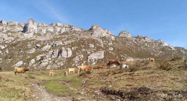 Vacas con terneros pastando en las inmediaciones de los Castros de Horneo.