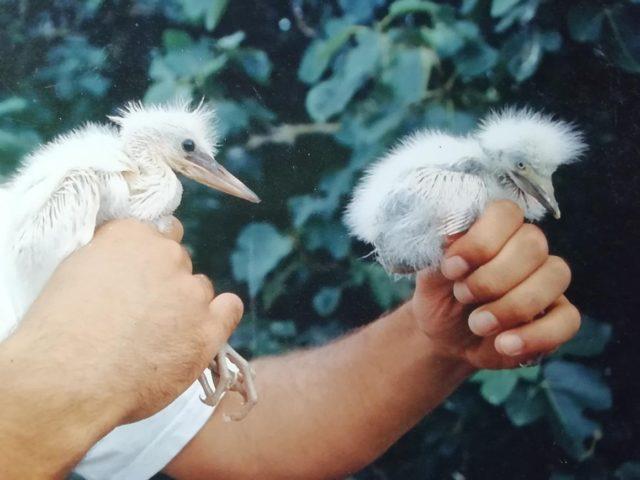 Pollo de garceta común (Egretta garzetta) a la izquierda y de garcilla bueyera (Bubulcus ibis) a la derecha.