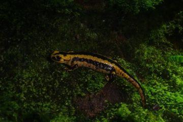 #Natureaencasa Una pandemia entre los anfibios