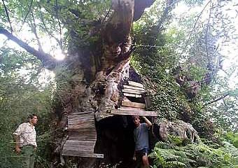 Árboles singulares: abuelo de Pesaguero