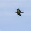 #Natureaencasa Grandes viajeros llegan al Parque Natural Saja-Besaya: el alimoche