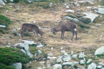 Berrea del ciervo en Saja Besaya (mañana)