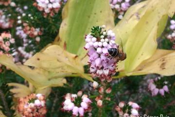 Las abejas, biodiversidad en peligro
