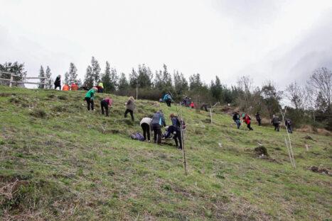 Mantenimiento de la plantación forestal en Silió (Molledo)