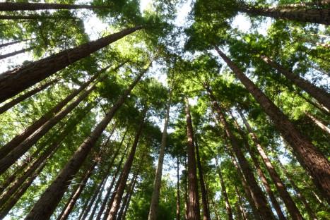 #Natureandoencorto: Secuoyas del Monte Cabezón
