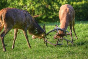 Berrea del ciervo en Liébana (mañana)