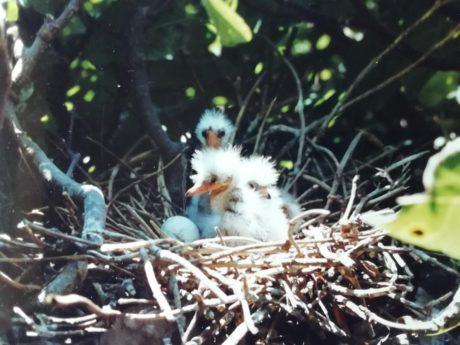 Nido de garcilla bueyerera (Bubucus ibis) con 3 pollos.