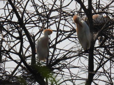 Pareja de garcilla bueyera (Bubulcus ibis).
