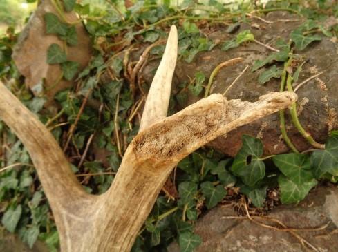 """Cuerna roída. Los propios cérvidos necesitan un aporte extra de minerales en la época de crecimiento de la cuerna, por eso es frecuente que """"roan"""" las cuernas desprendidas para absorber más nutrientes."""
