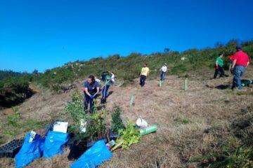 Mantenimiento de la plantación forestal en el entorno de La Mina de Udías